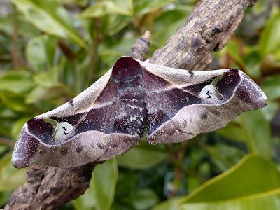 Holocerina species female
