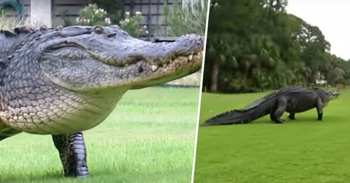 Monster Alligator Casually Interrupts Game Of Golf