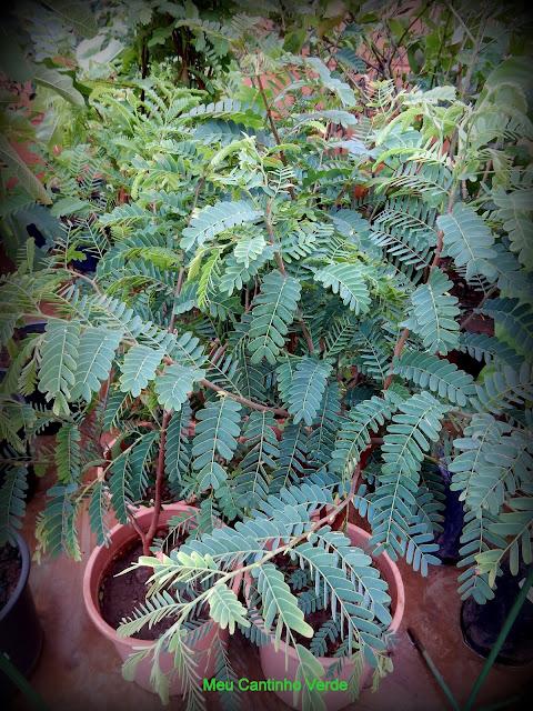 Mudas - ( Tamarindus indica L. )