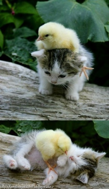 Funny kitty and chickens.