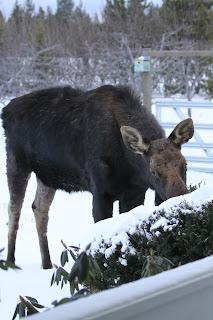 moose, yews