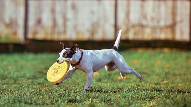 seekor anjing sedang bermain frisbee di halaman rumah