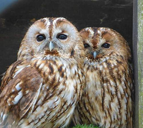 Indian birds - Picture of Tawny owl - Strix aluco