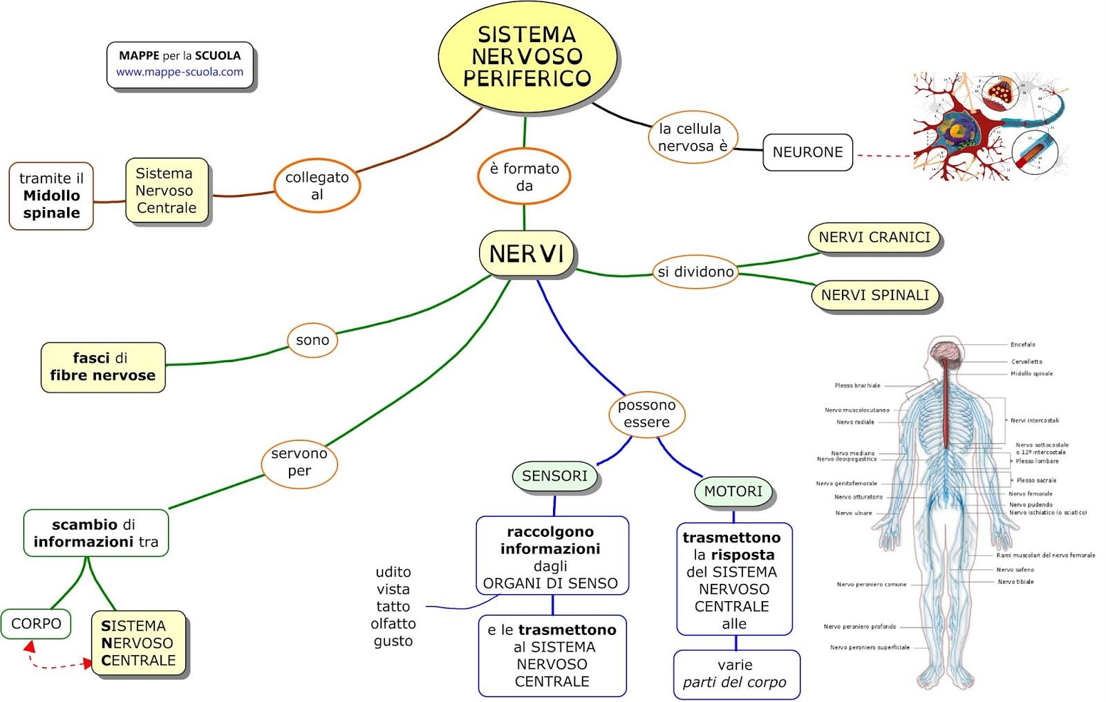 Preferenza MAPPE per la SCUOLA: SISTEMA NERVOSO PERIFERICO QI76