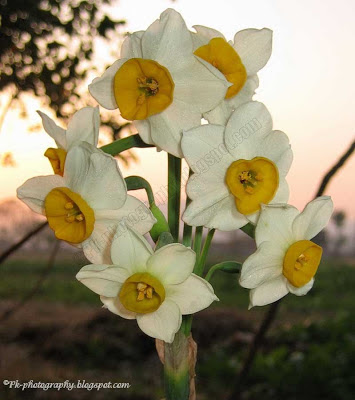 Narcissus tazetta