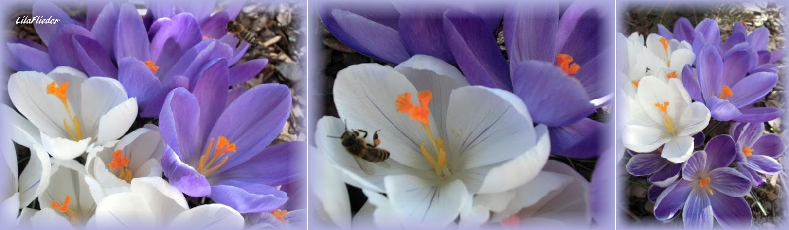 Lila Flieder Garten Frohe Ostern