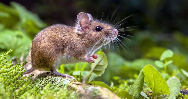 Cara Mengusir Tikus Secara Alami