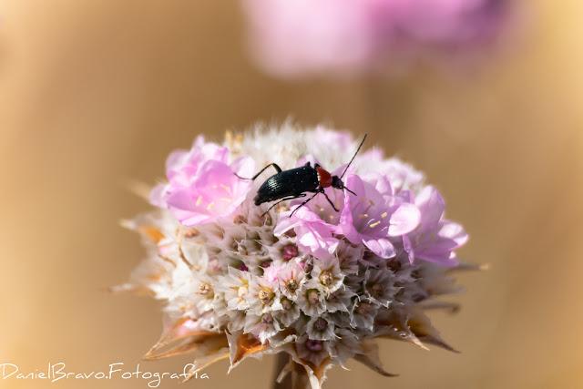 Fotografía macro de un insecto en una clavellina rosa en el Parque Nacional de Doñana