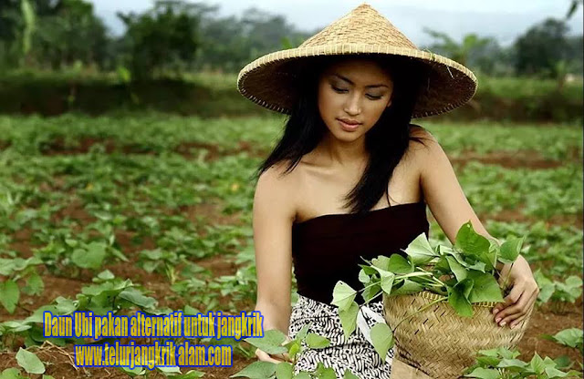 pakan sayuran alternatif untuk jangkrik yang murah dan praktis kita temukan Order WA 0858-5314-7511 #7 pakan sayuran alternatif untuk jangkrik yang murah dan praktis kita temukan.