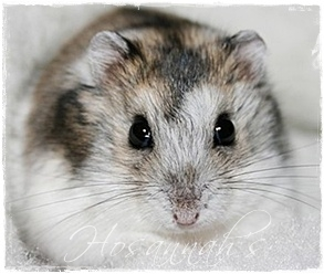 Winter White Hamster Face Front