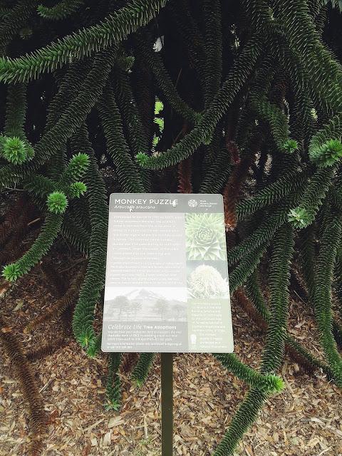 monkey puzzle en el jardin botanico de edimburgo