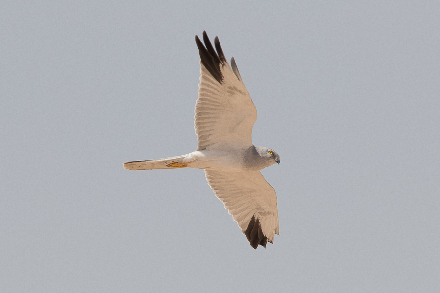 Pallid Harrier - male