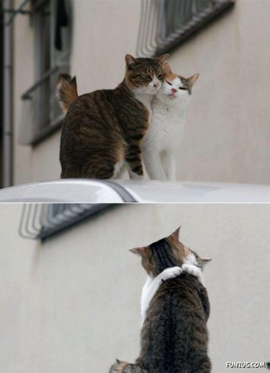 pareja de gatos enamorados