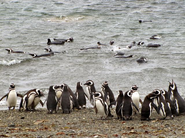 chile penguin
