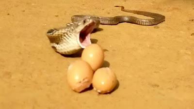 Ular kobra muntahkan kembali 7 telur yang telah ditelannya.