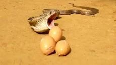 Ular Kobra Rakus Keselek Saat Makan Telur Ayam 7 Butir Sekaligus