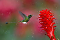 Wildlife Photographer of the Year colibrì