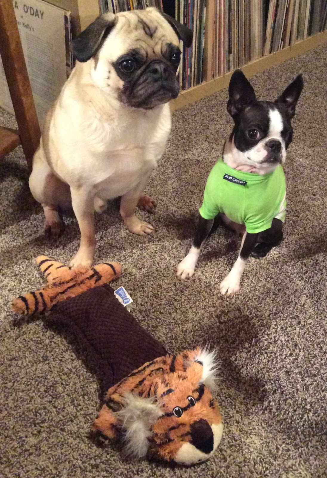 Liam the pug and Sinead the Boston terrier and their toys