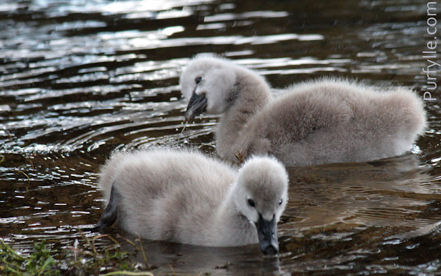 Black swan cygnets dabbling