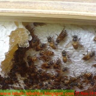 Jual madu lebah dan klanceng asli murni hutan jogja