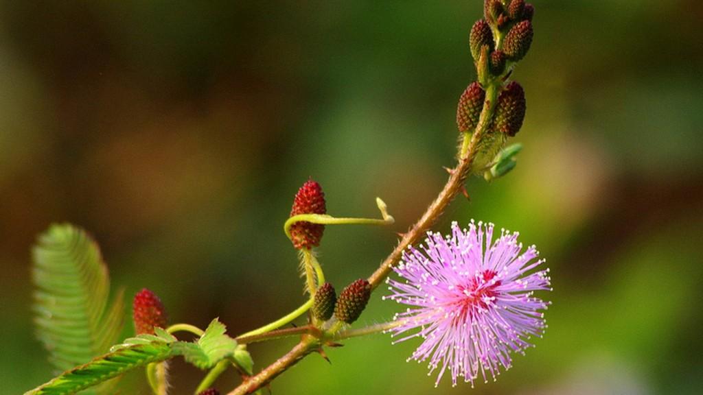 Chùm thơ viết về hoa Trinh Nữ hay & Ý nghĩa loài Trinh Nữ là gì?