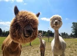 A alpaca é um animal da família dos camelídeos, é criada no Peru, Chile e na Bolívia (região dos Andes) como fonte financeira principal, para o aproveitamento da sua lã.