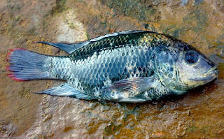 cara budidaya ikan gurame di kolam tanah