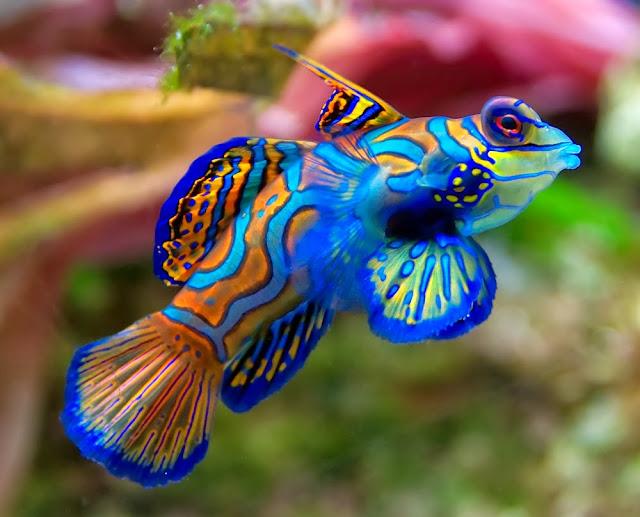 mandarin fish ikan paling cantik dan langka di dunia