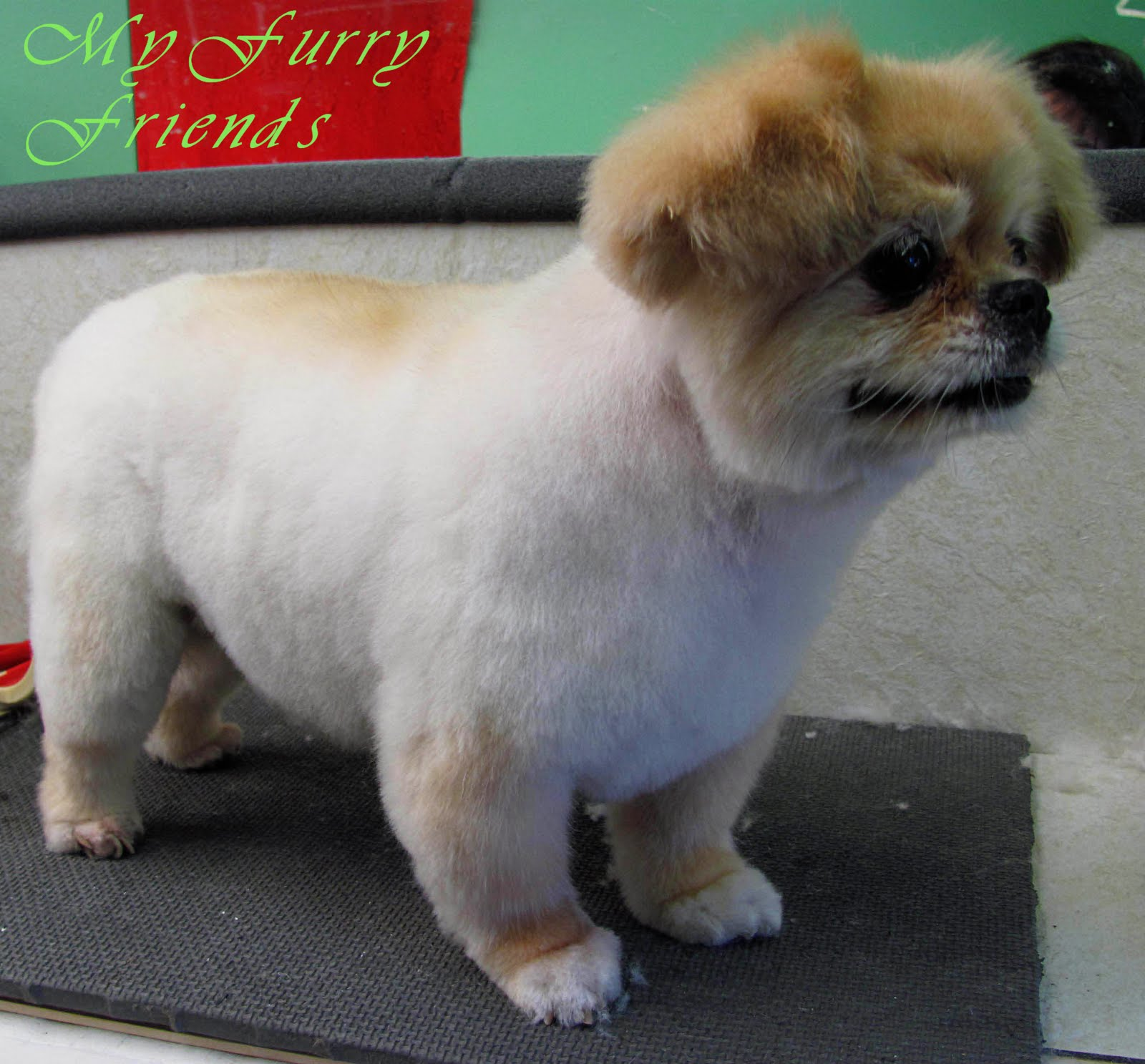 pet grooming: the good, the bad, & the furry: grooming a pekingese