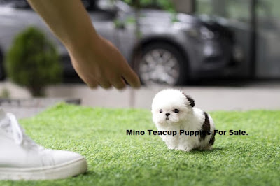 Mino Teacup Tiny Puppies Micro Teacup Angel For Sale Meet Maggie