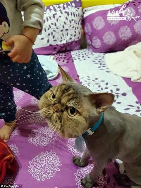 """Không thể nhịn cười khi nhìn chú mèo """"đang cạo lông dở thì nhà mất điện"""""""