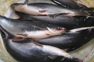 Harga Ikan Patin