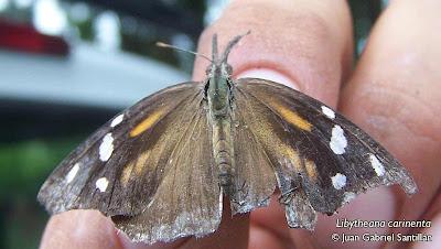 Mariposa picuda Libytheana carineta