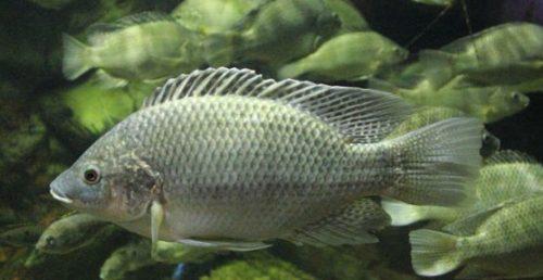 Jenis Jenis Hewan Ikan Mujair