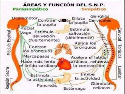 Resultado de imagen para ESquemas sistema nervioso simpatico y parasimpatico