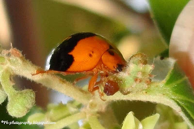 Ladybug Eating Caterpillar