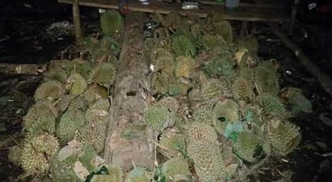 Musim Durian : Panen durian di Rumbai