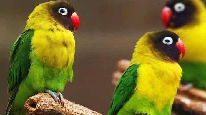 Tips Perawatan Lovebird yang Sedang Mabung Agar Cepat Selesai
