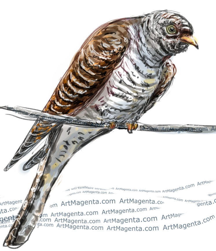 Cuckoo sketch painting. Bird art drawing by illustrator Artmagenta