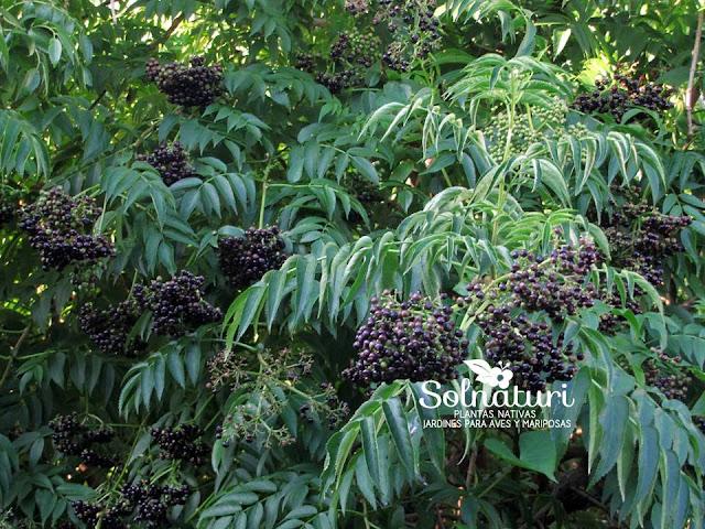 Sambucus australis Sauco frutos y hojas