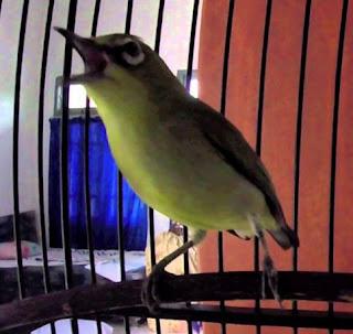 downloadmp3 suara burung pleci muria