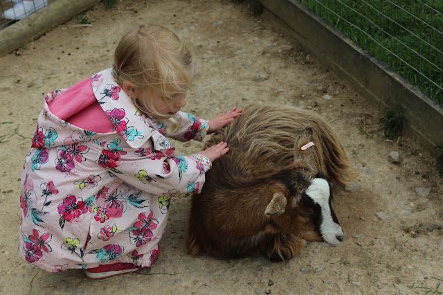 A young girl in a pale pink flowered coat stroking a brown pygamy goat sitting in the dust