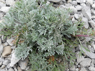 Armoise du Canada - Artemisia campestris subsp. canadensis