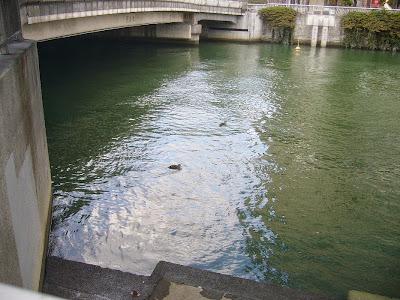 土佐堀川(中之島の南側を流れる川)のカモ
