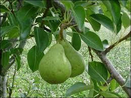 You Must Know Of Benefits And Efficacy of Green Pears Fruit for Health and Pregnancy - Healthy T1ps