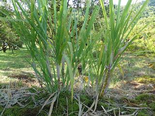 Canne à sucre - Saccharum officinarum