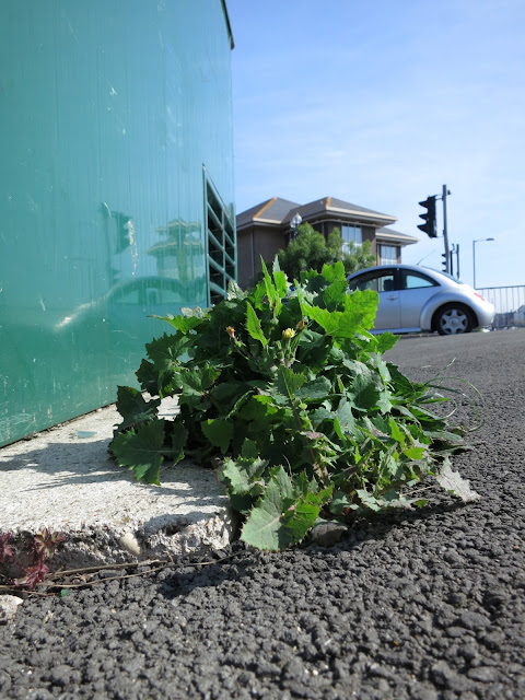Plant with yellow flower beside green street cabinet which reflects image of car and traffic lights.