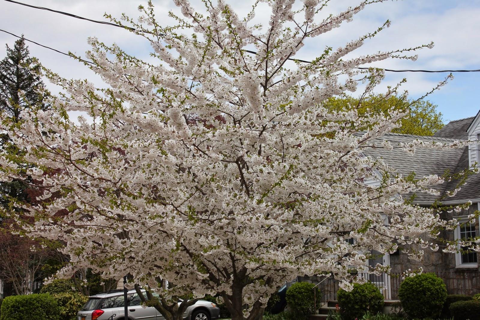 Gardening and Gardens: Spring Flowering Trees
