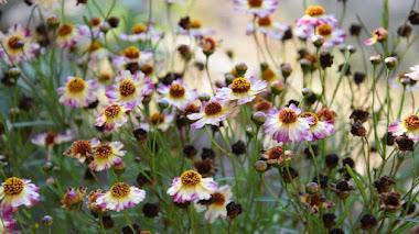 Plantas que florecen en verano y atraen polinizadores: Coreopsis
