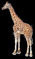Girafa em png